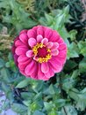 Free Zinnia Flower In The Fall In Shakespeare Garden In Central Park In Manhattan. Stock Photography - 61057362