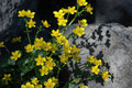 Free Yellow Flowers On Stone Royalty Free Stock Image - 6112576