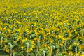 Free Many Sunflowers In Blossom Royalty Free Stock Photography - 6115777