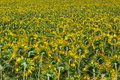 Free Many Sunflowers In Blossom Stock Photo - 6115780