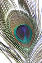 Free Peacock Feather Royalty Free Stock Photography - 6116837