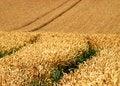 Free Wheat Crop Royalty Free Stock Photos - 6117298
