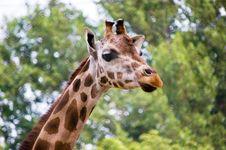 Free Giraffe Portrait Stock Photo - 6110490