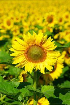 Free Sunflower Royalty Free Stock Photos - 6110708