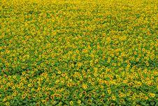 Free Sunflower Stock Photo - 6110810