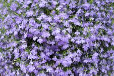 Free Small Violet Flower Royalty Free Stock Images - 6111149