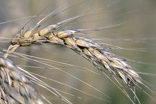 Free Wheat Stock Image - 6111331