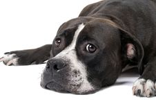 Portrait Of The American Staffordshire Terrier Royalty Free Stock Images