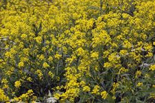Free Yellow Flowers On Stone Royalty Free Stock Photography - 6112457
