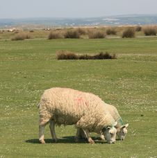 Sheep On A Golf Links In British Isles Stock Images