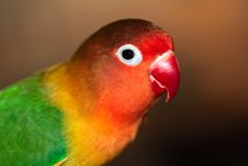 Free Portrait Of Lovebird Royalty Free Stock Images - 6113169