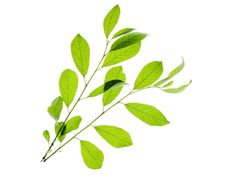 Free Leaves On White Royalty Free Stock Photo - 6113525