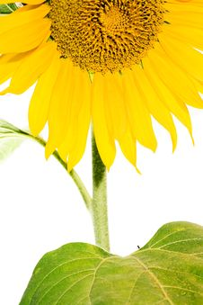 Free Sunflower Stock Photography - 6113612