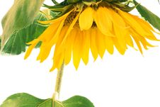 Free Sunflower Stock Images - 6113624