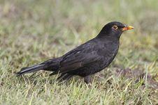 Free Common Black Bird Stock Images - 6114584