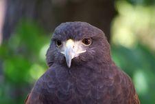 Free Falcon Face Royalty Free Stock Photo - 6115025