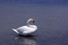 Lone Swan Royalty Free Stock Image