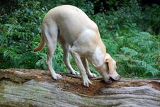 Free Labrador Puppy In The Forest Stock Image - 6115261