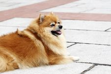 Free Pomeranian Stock Photo - 6115830