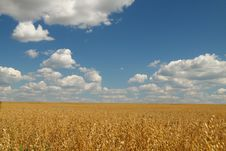 Golden Oat Field Over Blue Sky Royalty Free Stock Photos
