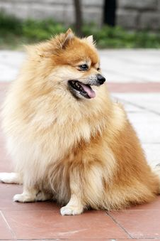 Free Pomeranian Royalty Free Stock Photo - 6116575