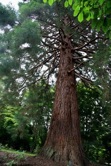 Free Sequoia (Gigantea) Planted 1876 Royalty Free Stock Image - 6116626