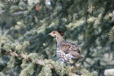 Free Spruce Grouse Royalty Free Stock Photography - 6116937
