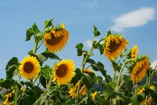 Free Sunflowers Stock Image - 6117241