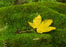 Free Yellow Leaf On Musk Stock Photos - 6117553