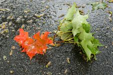 Free Fall Maple Leaves Stock Photo - 6117740