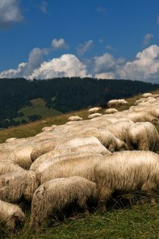 Free Sheeps Royalty Free Stock Images - 6117859