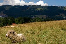 Free Sheep Stock Photos - 6117963