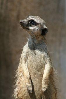 Meerkat Posing Royalty Free Stock Photography