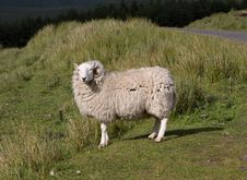 Free Funny Sheep Squinting On The Sun Royalty Free Stock Photos - 6119868