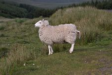 Free Sheep On A Hill Royalty Free Stock Photos - 6119878