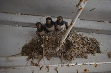 The Chicks In The Nest Swallow Stock Photo