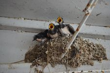 The Chicks In The Nest Swallow Stock Photography