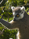 Free Lemur Stock Photos - 6120173