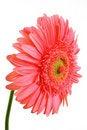 Free Pink Gerbera Royalty Free Stock Photo - 6127685