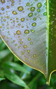 Free Drops On A Leaf Royalty Free Stock Image - 6127916