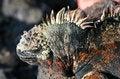 Free Iguana On The Rocks Royalty Free Stock Photos - 6128848