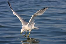 Free Ring-billed Seagull Royalty Free Stock Photos - 6120078