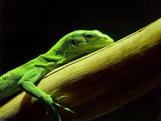 Free Lizard Green Stock Photo - 6120100