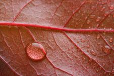 Waterdrop On A Red Leaf Stock Image