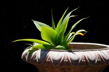 Free Agave In Planter Stock Photos - 6121953