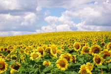 Free Sunflower Field Stock Images - 6122234