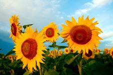 Free Bright Sunflowers Stock Photography - 6122372