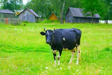 Free Cow In Pasture Stock Photos - 6122893