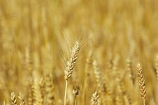 Free Wheat Stock Image - 6123071