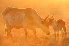 Free Nguni Mother And Calf Stock Photo - 6123190